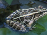 Pickerel Frog (Rana Palustris), Central USA Photographic Print by Gary Meszaros