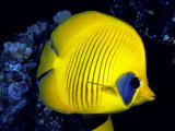 Blue-Cheeked Butterflyfish (Chaetodon Semilarvatus), Red Sea Photographic Print by David Fleetham
