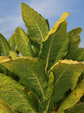 Tobacco Plant Ready for Harvest (Nicotiana Tabacum), Tennessee, USA Photographic Print by Wayne Hutchinson