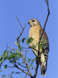 Red-Shouldered Hawk, Buteo Lineatus, Florida, USA Photographic Print by Arthur Morris