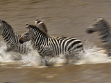 Burchell's Zebras (Equus Burchelli) Running across Mara River, Masai Mara Game Reserve, Kenya Photographic Print by Adam Jones