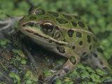 Northern Leopard Frog (Rana Pipiens), North America Fotografie-Druck von Gustav W. Verderber