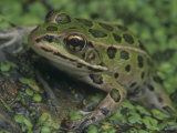 Northern Leopard Frog (Rana Pipiens), North America Photographic Print by Gustav W. Verderber