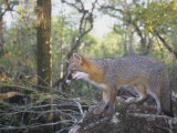 A Gray Fox, Urocyon Cinereoargenteus, Southern USA Photographic Print by Joe McDonald