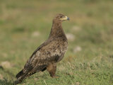 Tawny Eagle on the Ground, Aquila Rapax, Ngorongoro Crater, Tanzania, Africa Photographic Print by Arthur Morris