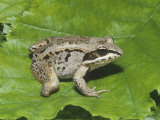 Mutant Wood Frog (Rana Sylvatica) Three and a Half Legged Photographic Print by Glenn Oliver