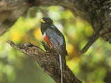 Male Elegant Trogon (Trogon Elegans), Arizona, USA Photographic Print by Steve Maslowski