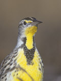 Eastern Meadowlark Head, Sturnella Magna, North America Photographic Print by Arthur Morris