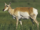 Female Pronghorn, Antilocapra Americana, North American Grasslands Photographic Print by Joe McDonald