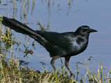 Boat-Tailed Grackle, Quiscalus Major, Eastern USA Photographie par John Cornell