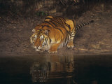 Bengal Tiger Drinking, Panthera Tigris, Asia Photographic Print by Adam Jones