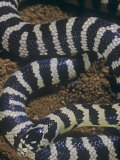 California King Snake Banded Color Phase, Lampropeltis Getulus, California, USA Photographic Print by Jim Merli