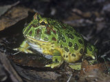 Argentine or Ornate Horned Frog, Ceratophrys Ornata, South America Photographic Print by John &amp; Barbara Gerlach