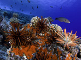 Slate Pencil Sea Urchins (Heterocentrotus Mammillatus) on a Coral Reef, Hawaii, USA Fotografie-Druck von David Fleetham