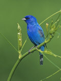 Male Indigo Bunting (Passerina Cyanea), Eastern USA Photographic Print by Steve Maslowski