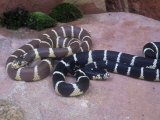 Color Variation in California Kingsnakes, Lampropeltis Getulus Californiae, . California, USA Photographic Print by Gerold &amp; Cynthia Merker