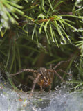 Grass Spider or Funnel Weaver, Agelenopsis Spp., Louisville, Ky Photographic Print by Adam Jones