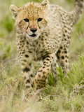 Cheetah Cub Walking Through Savanna Grasses, Actinonyx Jubatus, East Africa Photographic Print by Joe McDonald