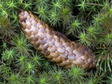 Norway Spruce Cone on the Mossy Forest Floor, Picea Abies Photographic Print by Fritz Polking