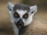 Ring-Tailed Lemur Face (Lemur Catta), Madagascar Photographic Print by Christopher Crowley