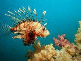 Lionfish or Turkeyfish (Pterois Volitans), Indian Ocean, Andaman Sea Photographic Print by Reinhard Dirscherl