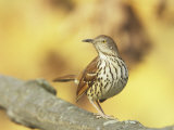 Brown Thrasher (Toxostoma Rufum), North America Photographie par Steve Maslowski