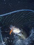 Netting Walleye Photographic Print by Wally Eberhart
