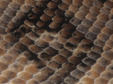 Boa Constrictor Scales, Constrictor Constrictor, South America Photographic Print by Joe McDonald