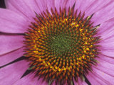 Close-Up of Purple Coneflower Ray and Disk Flowers (Echinacea Purpurea), Eastern USA Photographic Print by Rob & Ann Simpson