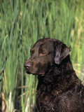 Chesapeake Bay Retriever Photographic Print by Cheryl Ertelt