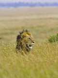 Adult Male Lion (Panthera Leo), Masai Mara Game Reserve, Kenya Photographic Print by Adam Jones