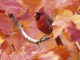 Male Northern Cardinal (Cardinalis Cardinalis) in a Fall Maple Tree (Acer), Eastern USA Photographie par Steve Maslowski