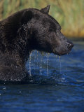 Brown Bear, Ursus Arctos, in Water Fishing for Migrating Salmon, Katmai National Park, Alaska, USA Photographic Print by Joe McDonald