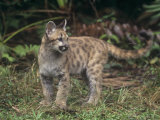 Baby Florida Panther (Felis Concolor), an Endangered Species, South Florida, USA Photographic Print by Robert Lindholm