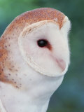 Barn Owl Head, Tyto Alba, North America Photographic Print by Arthur Morris