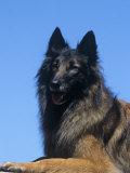Belgian Tervuren Variety of Domestic Dog Photographic Print by Cheryl Ertelt