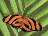Banded Orange Heliconian Butterfly (Dryadula Phaetusa), Family Heliconiidae Photographic Print by Leroy Simon