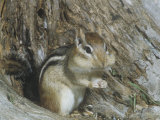 Eastern Chipmunk (Tamias Striatus), Eastern North America, with Cheeks Stuffed with Seeds Photographic Print by Rob & Ann Simpson