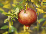 Pomegranate Fruit on a Tree (Punica Granatum) Photographic Print by David Cavagnaro