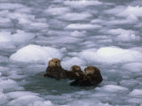 Sea Otter Group (Enydra Lutris) Swimming in Icy Water, Alaska, USA Photographic Print by Patrick Endres