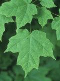 Sugar Maple Green Summer Leaves, Acer Saccharum, North America Photographic Print by David Sieren