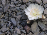 Bitterroot Flower, Lewisia Rediviva, the Montana State Flower, USA Photographic Print by John & Barbara Gerlach
