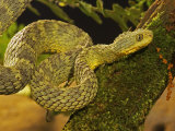 Bush Viper, Atheris Squamiger Photographic Print by Jack Michanowski
