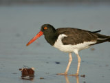 American Oystercatcher, Haematopus Palliatus, with a Sea Urchin, North America Photographic Print by Arthur Morris