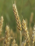Beardless Wheat Heads, , Triticum Aestivum Photographic Print by David Sieren
