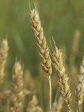 Beardless Wheat Heads, , Triticum Aestivum Photographic Print by David Sieren