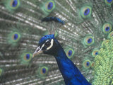 Close-Up of a Male Peacock Displaying (Pavo Cristatus) Photographic Print by Tom Ulrich