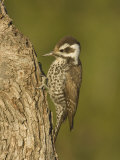 Arizona Woodpecker Female on an Oak Branch (Picoides Arizonae), Arizona, USA Photographic Print by Charles W. Melton