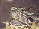 Texas Horned Lizard Head, Phrynosoma Cornutum, North America Photographic Print by Jim Merli