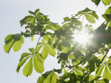 Photosynthesis in Action, with the Sun Shining Through Deciduous Leaves Photographic Print